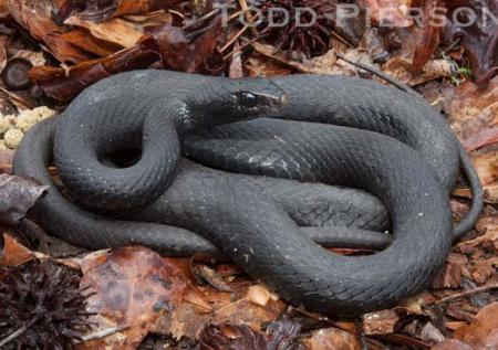 North American Black Racer Coluber Constrictor