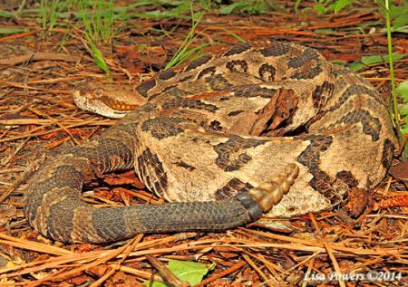 Timber Rattlesnake (Crotalus horridus) | Kentucky Snake Identification